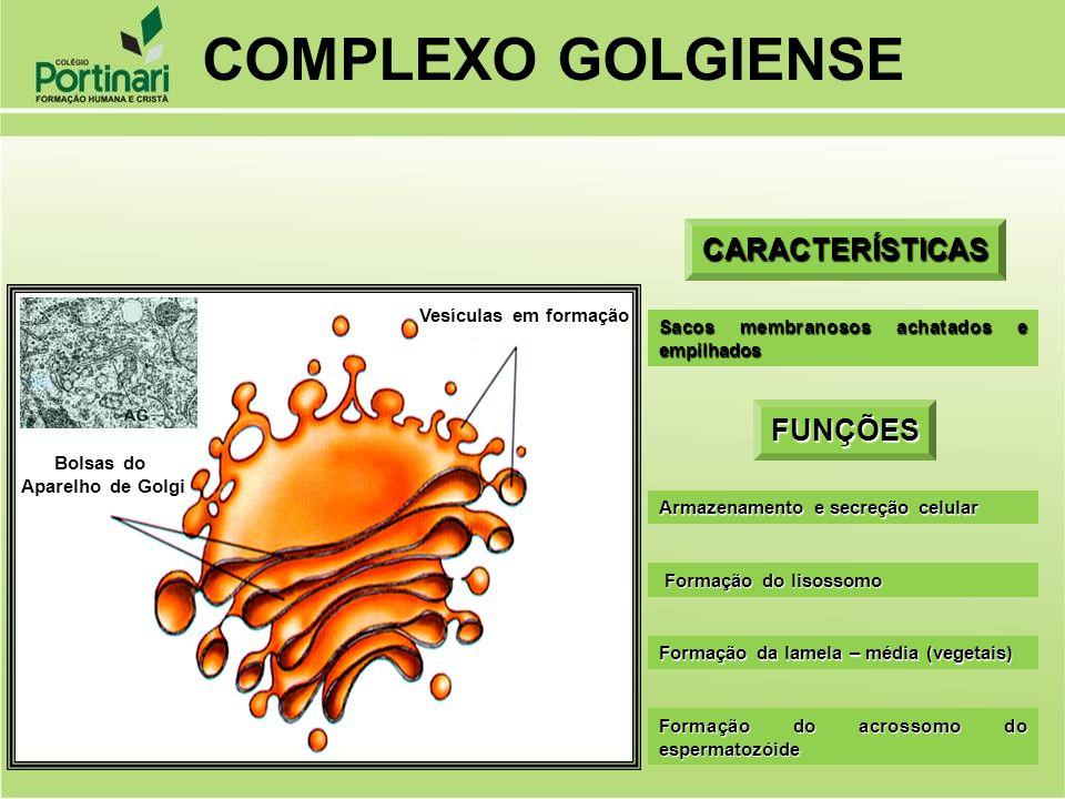 CARACTERÍSTICAS Sacos membranosos achatados e empilhados FUNÇÕES Armazenamento e secreção celular Formação do lisossomo Formação do lisossomo Formação
