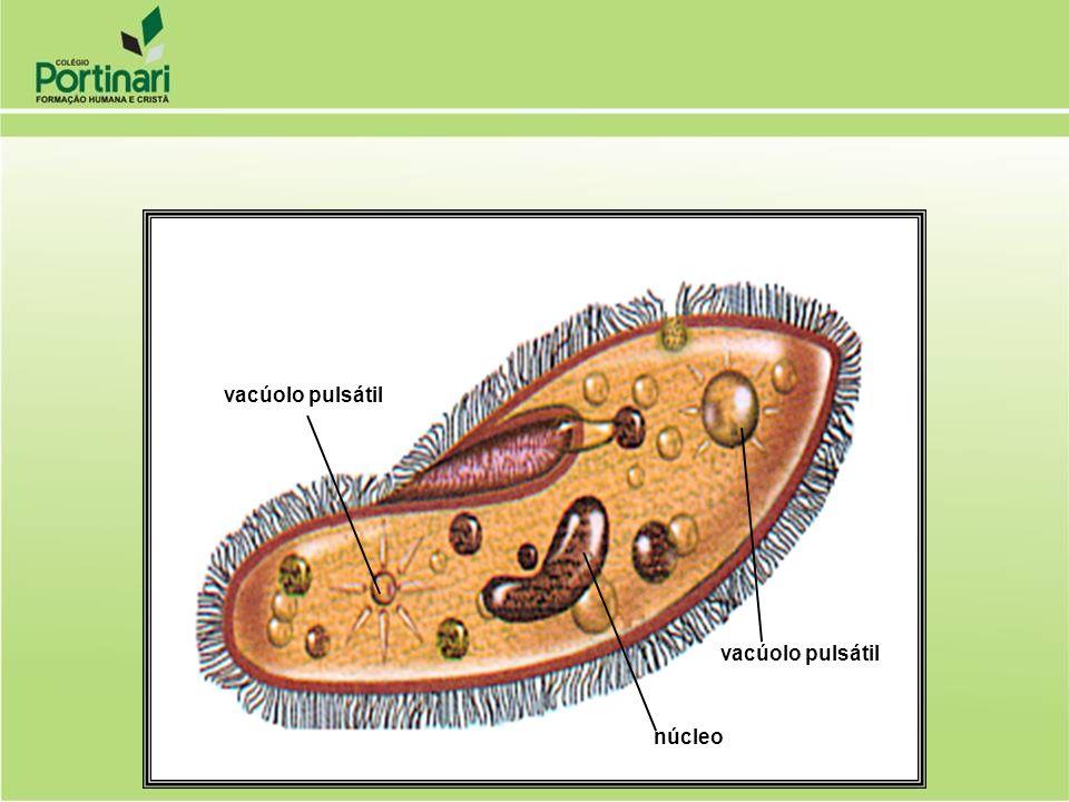 vacúolo pulsátil núcleo vacúolo pulsátil
