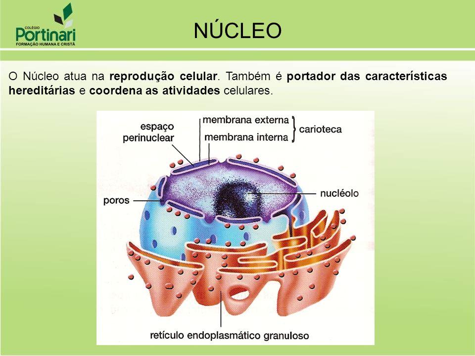 NÚCLEO O Núcleo atua na reprodução celular. Também é portador das características hereditárias e coordena as atividades celulares.