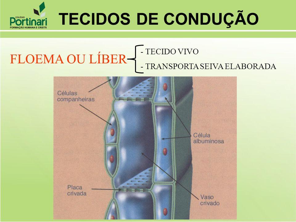 FLOEMA OU LÍBER - TECIDO VIVO - TRANSPORTA SEIVA ELABORADA TECIDOS DE CONDUÇÃO