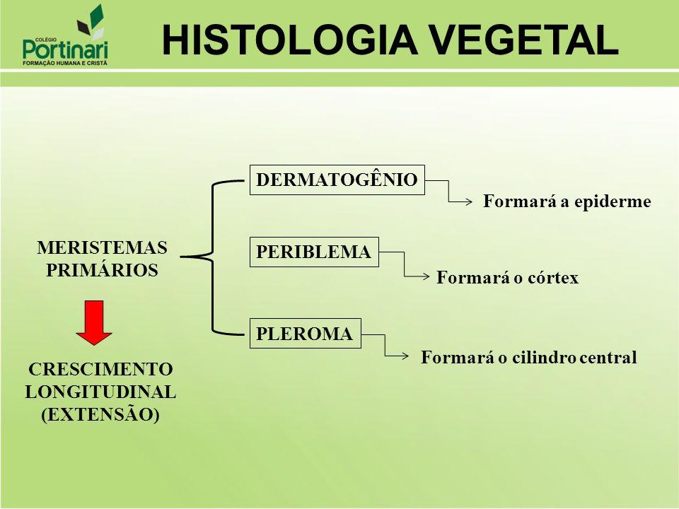 PERIBLEMA PLEROMA CRESCIMENTO LONGITUDINAL (EXTENSÃO) MERISTEMAS PRIMÁRIOS DERMATOGÊNIO Formará a epiderme Formará o córtex Formará o cilindro central