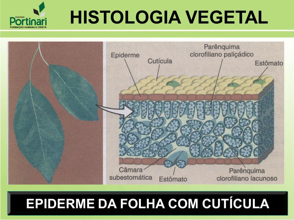 EPIDERME DA FOLHA COM CUTÍCULA HISTOLOGIA VEGETAL