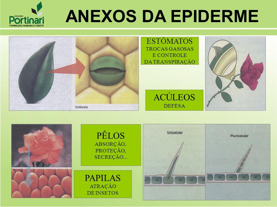 ACÚLEOS DEFESA ESTÔMATOS TROCAS GASOSAS E CONTROLE DA TRANSPIRAÇÃO PAPILAS ATRAÇÃO DE INSETOS PÊLOS ABSORÇÃO, PROTEÇÃO, SECREÇÃO... ANEXOS DA EPIDERME