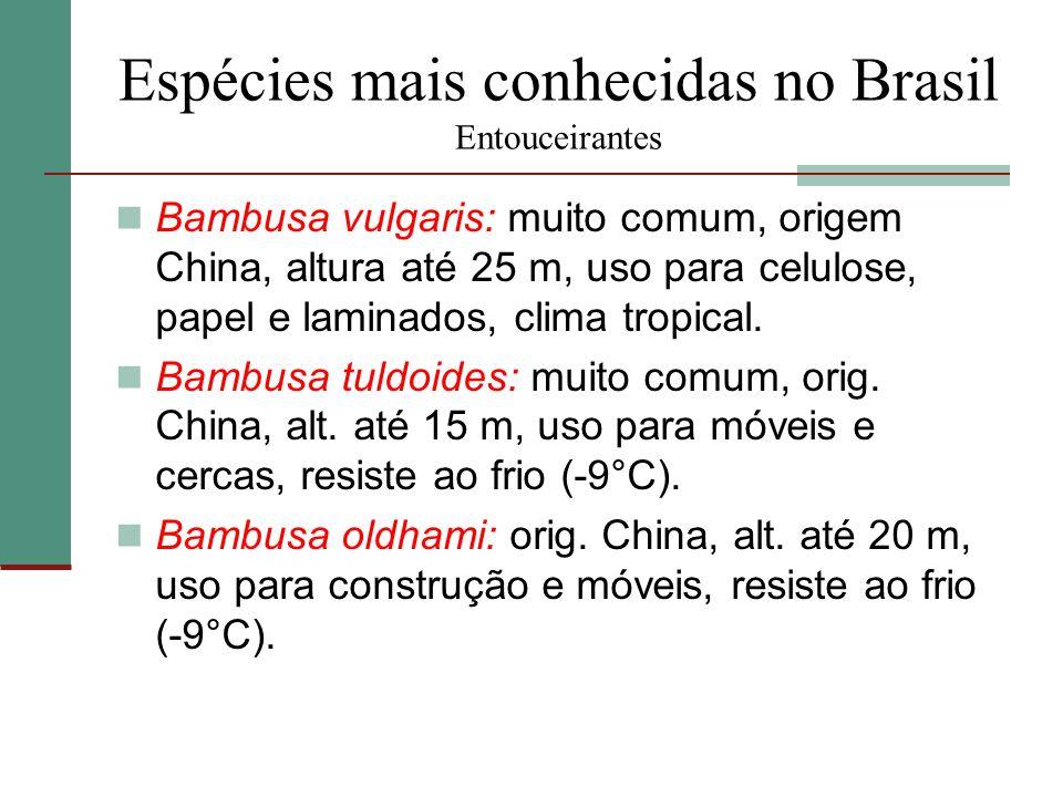Espécies mais conhecidas no Brasil Entouceirantes Bambusa vulgaris: muito comum, origem China, altura até 25 m, uso para celulose, papel e laminados,