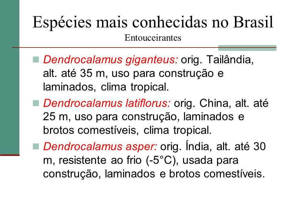 Espécies mais conhecidas no Brasil Entouceirantes Dendrocalamus giganteus: orig. Tailândia, alt. até 35 m, uso para construção e laminados, clima trop