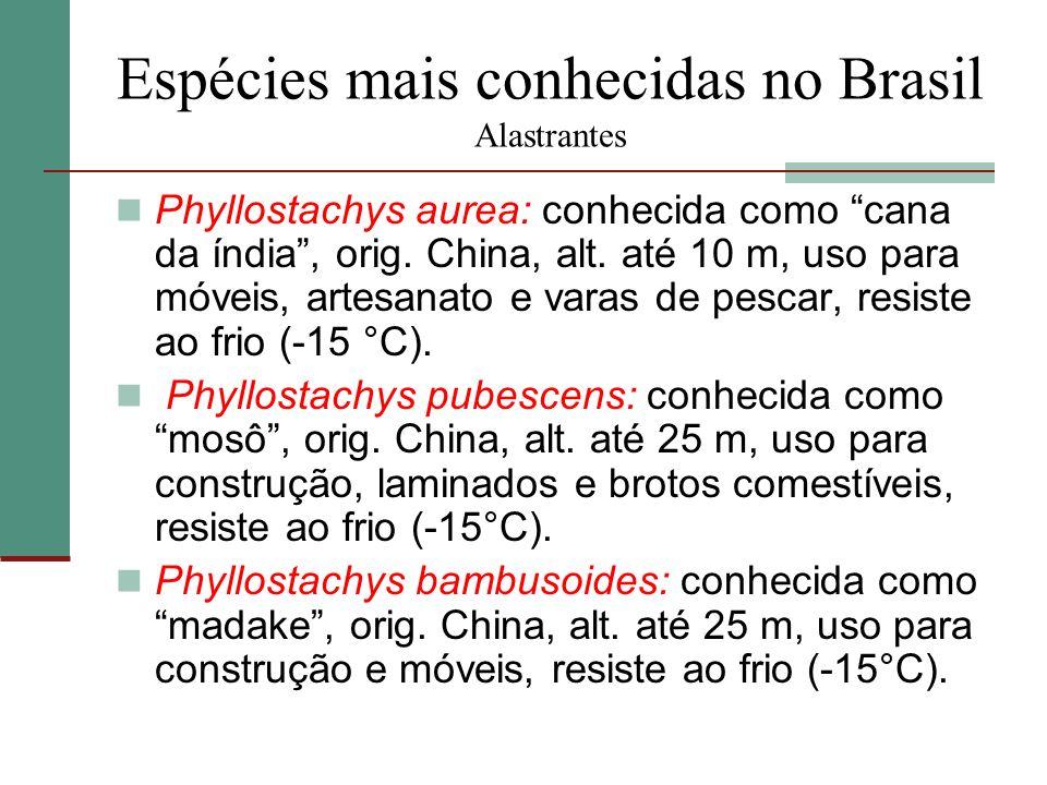 Espécies mais conhecidas no Brasil Alastrantes Phyllostachys aurea: conhecida como cana da índia, orig. China, alt. até 10 m, uso para móveis, artesan