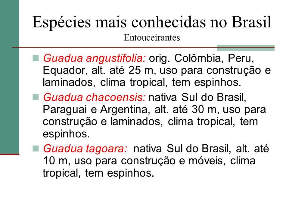 Espécies mais conhecidas no Brasil Entouceirantes Guadua angustifolia: orig. Colômbia, Peru, Equador, alt. até 25 m, uso para construção e laminados,