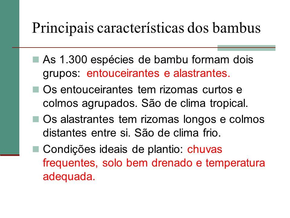 Principais características dos bambus As 1.300 espécies de bambu formam dois grupos: entouceirantes e alastrantes. Os entouceirantes tem rizomas curto