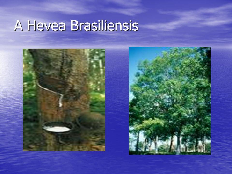 A Hevea Brasiliensis