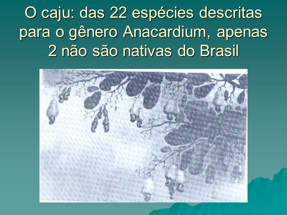 O caju: das 22 espécies descritas para o gênero Anacardium, apenas 2 não são nativas do Brasil