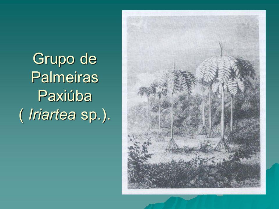 Grupo de Palmeiras Paxiúba ( Iriartea sp.).