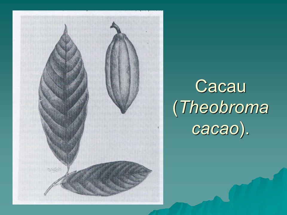 Cacau (Theobroma cacao).