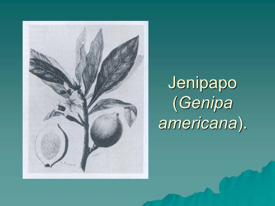 Jenipapo (Genipa americana).