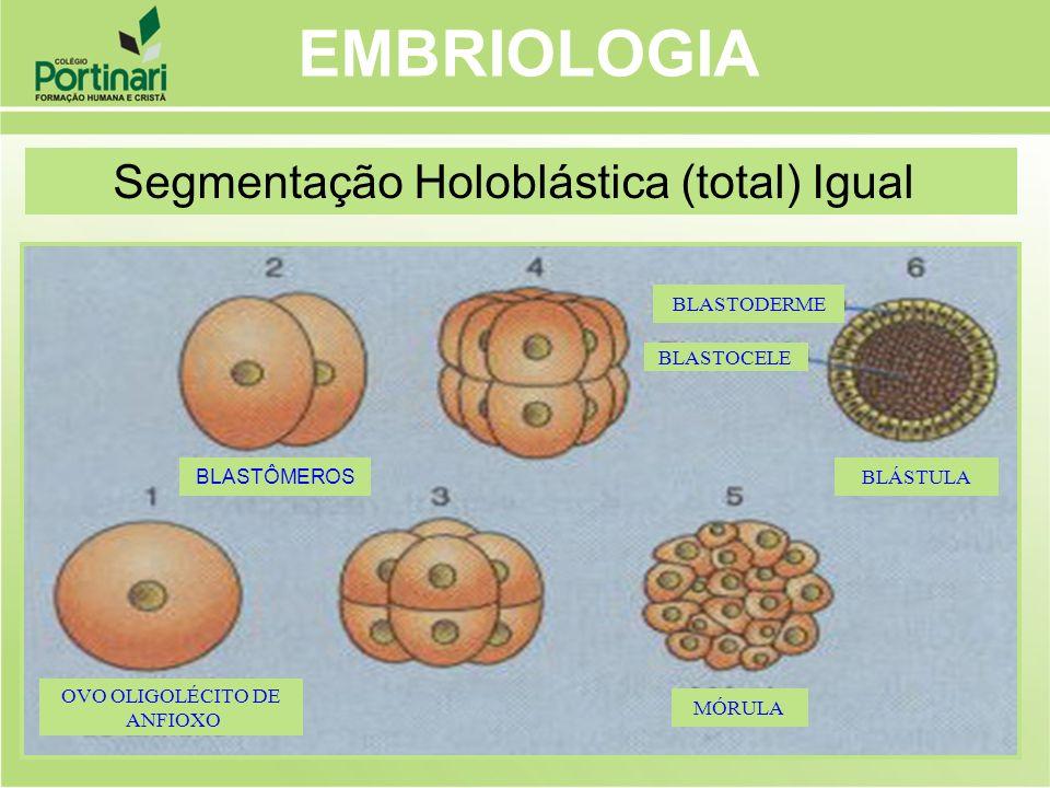 BLASTÔMEROS OVO OLIGOLÉCITO DE ANFIOXO BLASTODERME BLASTOCELE BLÁSTULA MÓRULA EMBRIOLOGIA Segmentação Holoblástica (total) Igual