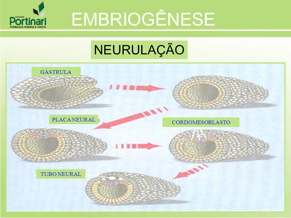 TUBO NEURAL CORDOMESOBLASTO PLACA NEURAL GÁSTRULA NEURULAÇÃO EMBRIOGÊNESE