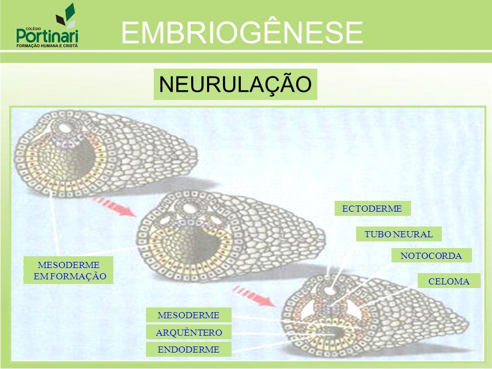 ENDODERME ARQUÊNTERO MESODERME CELOMA NOTOCORDA ECTODERME TUBO NEURAL MESODERME EM FORMAÇÃO EMBRIOGÊNESE NEURULAÇÃO