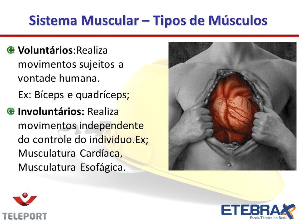 Sistema Muscular – Tipos de Músculos Voluntários:Realiza movimentos sujeitos a vontade humana.