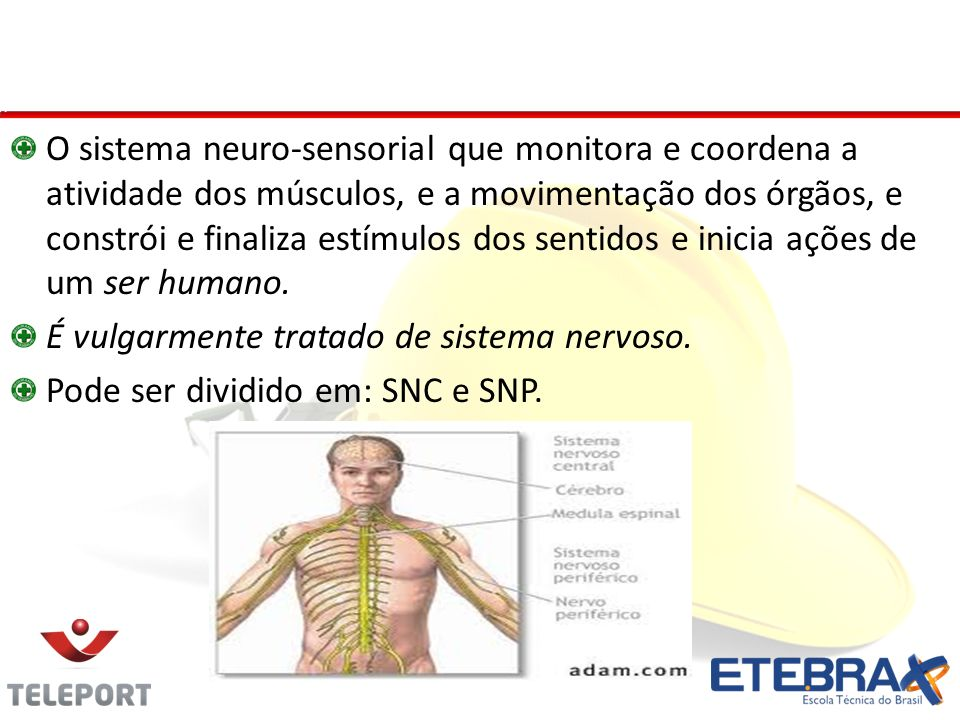 Sistema Nervoso O sistema neuro-sensorial que monitora e coordena a atividade dos músculos, e a movimentação dos órgãos, e constrói e finaliza estímulos dos sentidos e inicia ações de um ser humano.