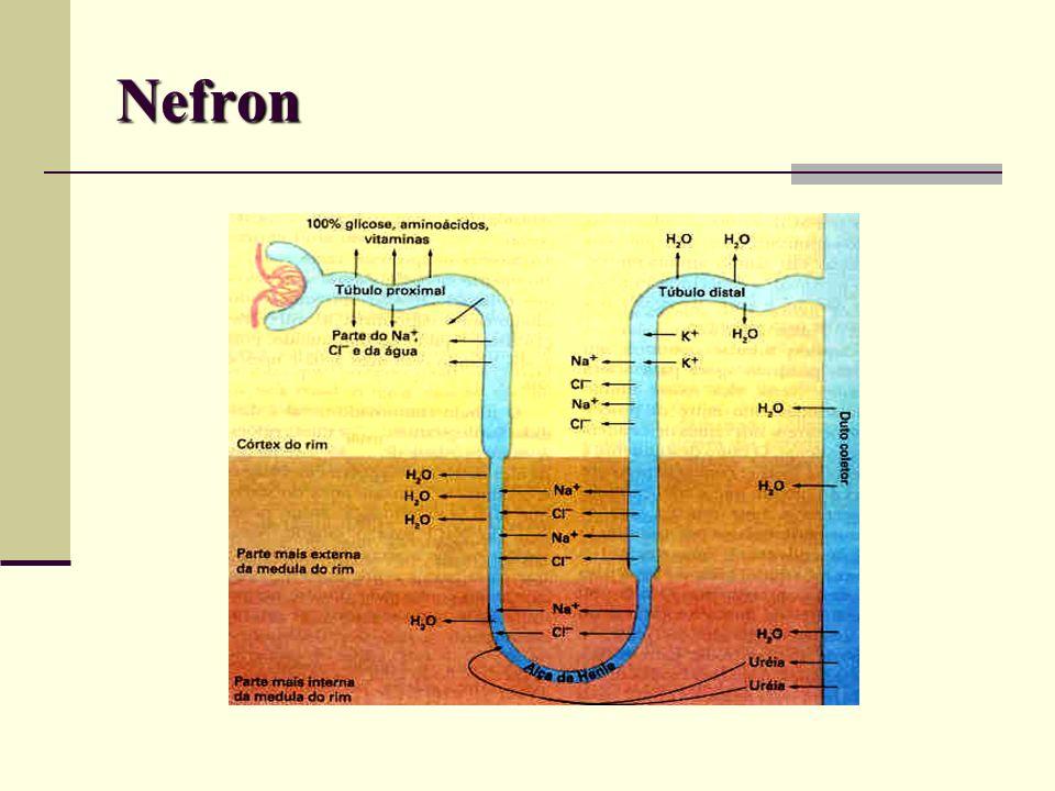 Função Homeostática Renal Regulação do equilíbrio hidroeletrolítico; Eliminar resíduos metabólicos (uréia, creatinina, ácido úrico, bilirrubina conjugada, drogas, toxinas, etc); Retenção de nutrientes (proteínas, aminoácidos, glicose, cálcio, etc); Manutenção pH plasmático.