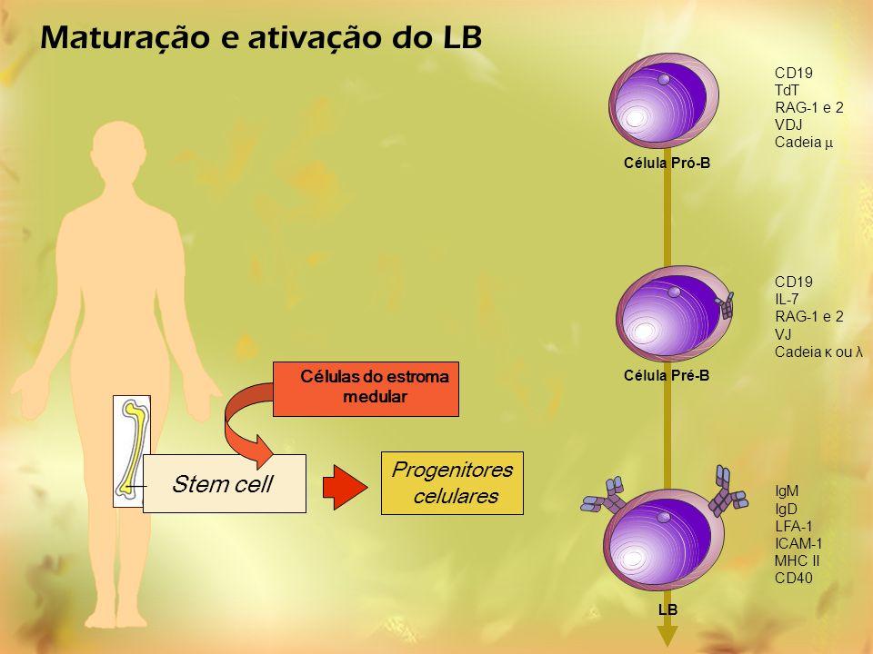 Stem cell Progenitores celulares Maturação e ativação do LB Células do estroma medular CD19 TdT RAG-1 e 2 VDJ Cadeia μ CD19 IL-7 RAG-1 e 2 VJ Cadeia κ
