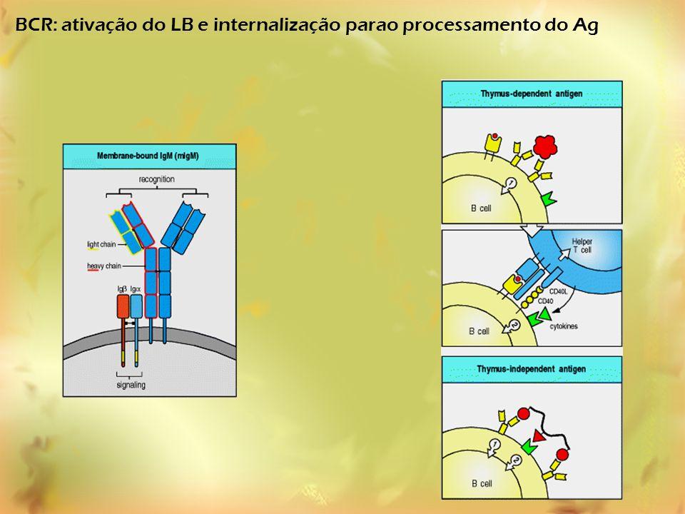 BCR: ativação do LB e internalização parao processamento do Ag