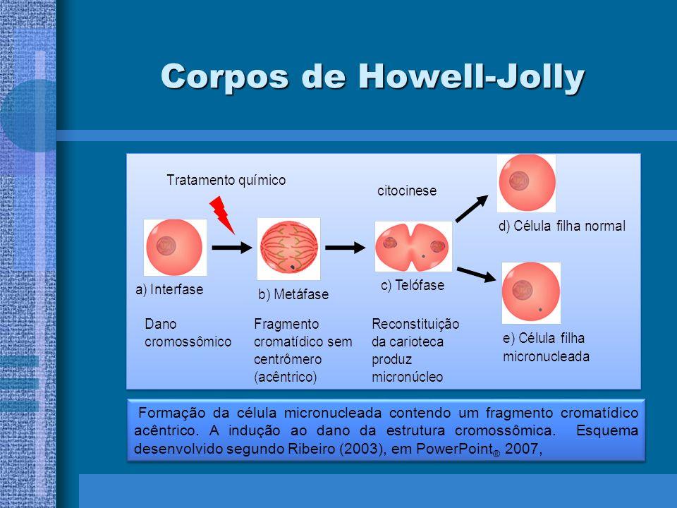 Corpos de Howell-Jolly Formação da célula micronucleada contendo um fragmento cromatídico acêntrico. A indução ao dano da estrutura cromossômica. Esqu