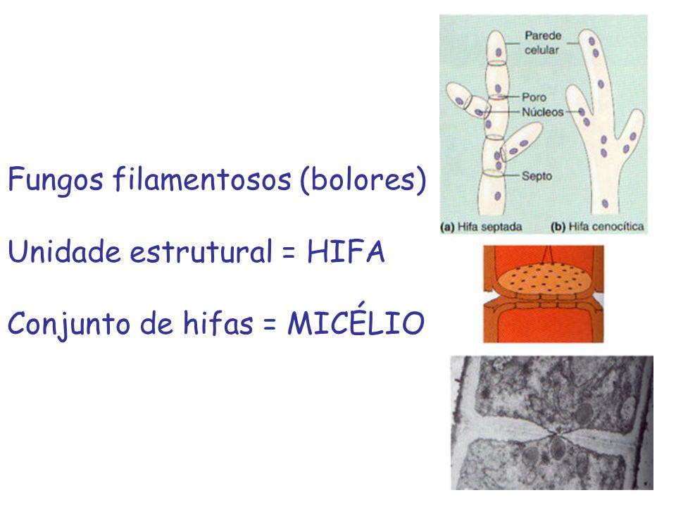 Fungos filamentosos (bolores) Unidade estrutural = HIFA Conjunto de hifas = MICÉLIO