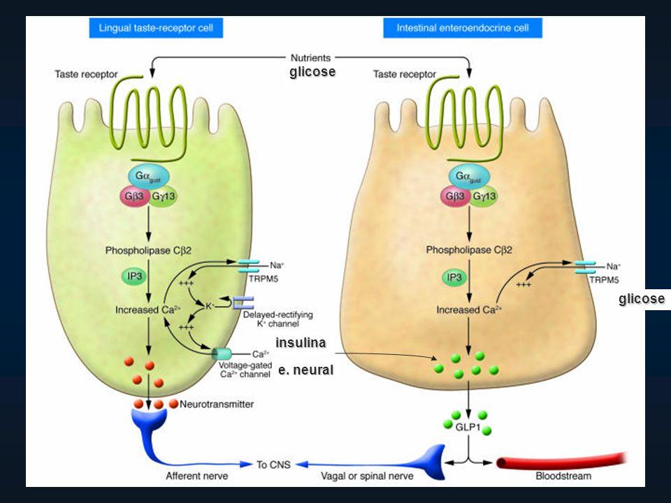 glicose glicose e. neural insulina
