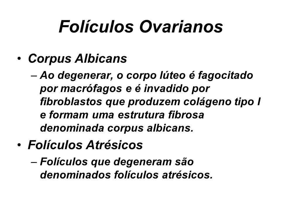 Folículos Ovarianos Corpus Albicans –Ao degenerar, o corpo lúteo é fagocitado por macrófagos e é invadido por fibroblastos que produzem colágeno tipo I e formam uma estrutura fibrosa denominada corpus albicans.
