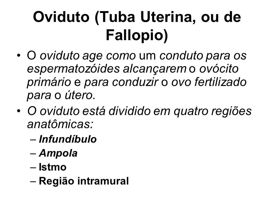 Oviduto (Tuba Uterina, ou de Fallopio) O oviduto age como um conduto para os espermatozóides alcançarem o ovócito primário e para conduzir o ovo fertilizado para o útero.