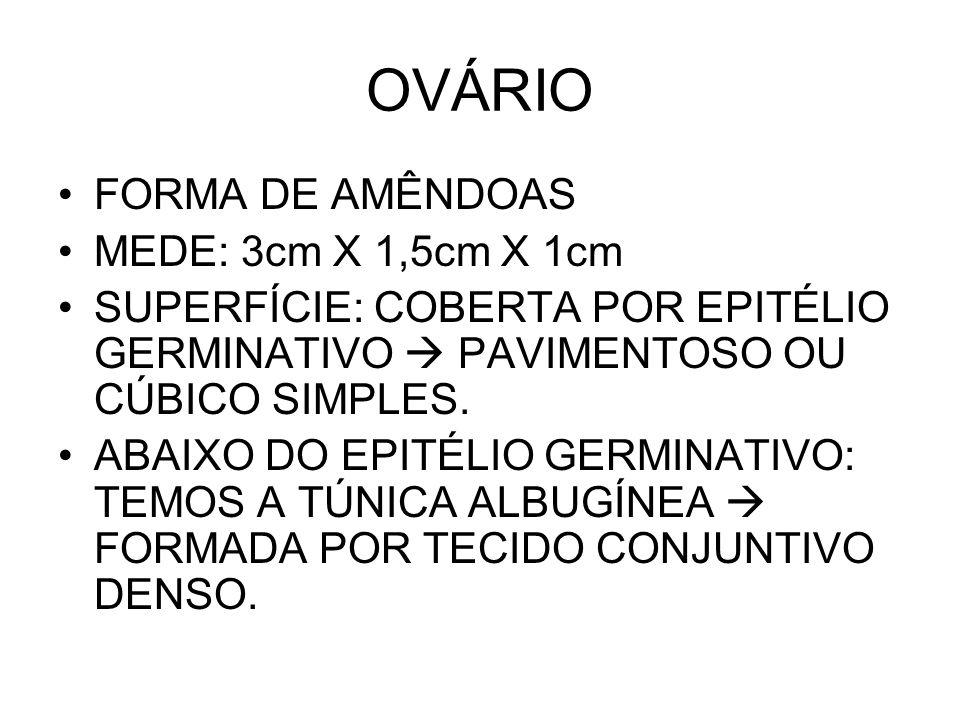 OVÁRIO FORMA DE AMÊNDOAS MEDE: 3cm X 1,5cm X 1cm SUPERFÍCIE: COBERTA POR EPITÉLIO GERMINATIVO PAVIMENTOSO OU CÚBICO SIMPLES.
