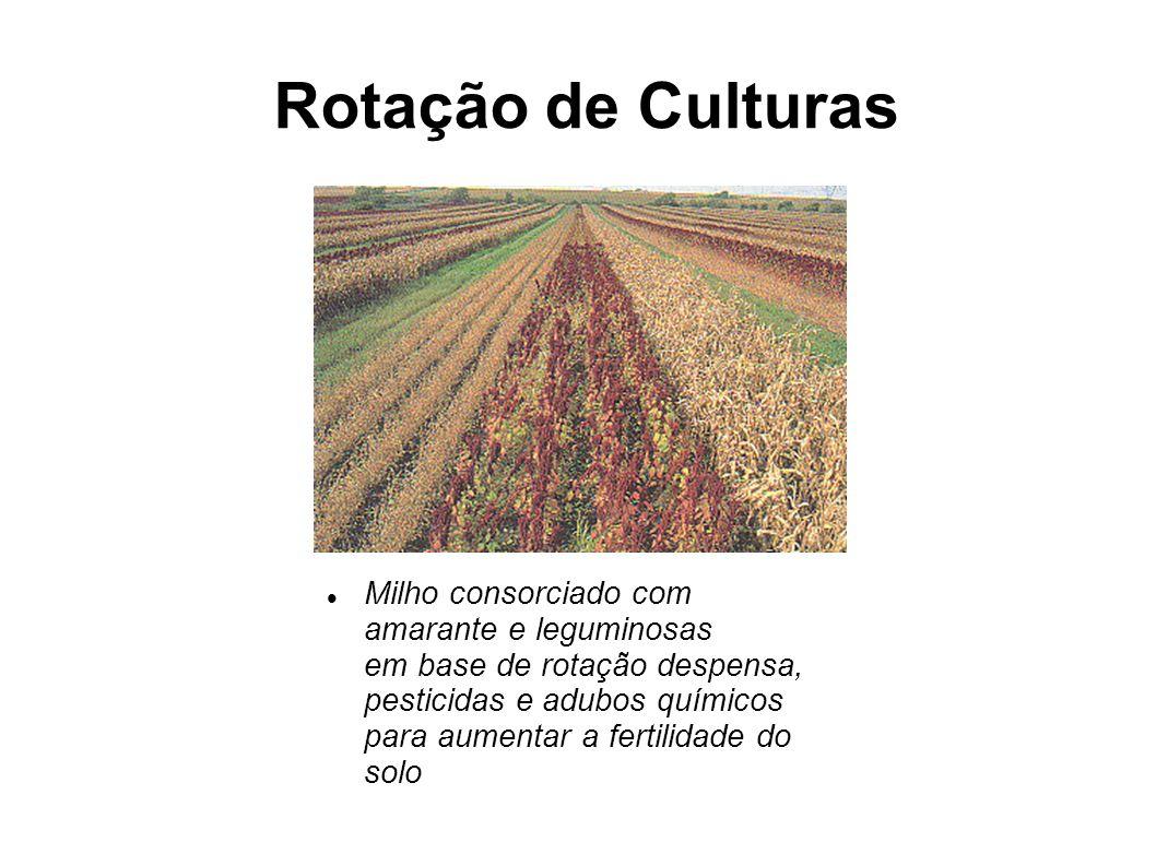 Rotação de Culturas Milho consorciado com amarante e leguminosas em base de rotação despensa, pesticidas e adubos químicos para aumentar a fertilidade