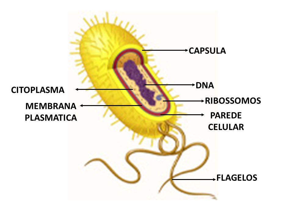 DNA CAPSULA RIBOSSOMOS CITOPLASMA MEMBRANA PLASMATICA PAREDE CELULAR FLAGELOS