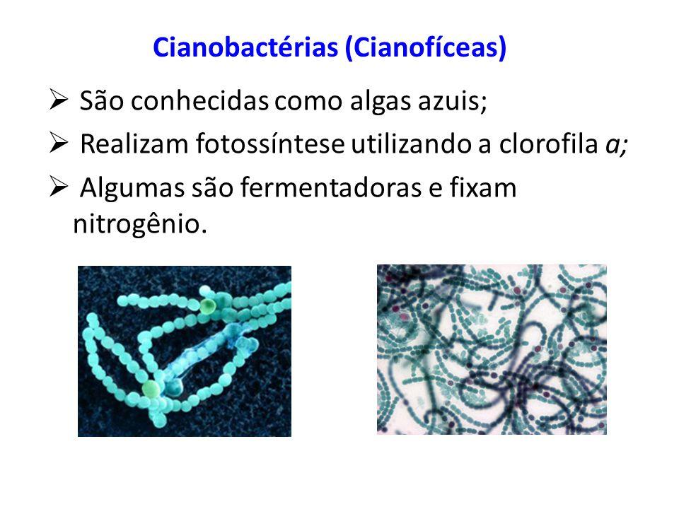 Cianobactérias (Cianofíceas) São conhecidas como algas azuis; Realizam fotossíntese utilizando a clorofila a; Algumas são fermentadoras e fixam nitrog