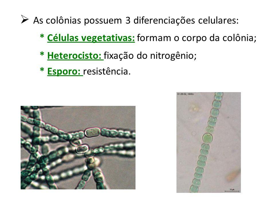As colônias possuem 3 diferenciações celulares: * Células vegetativas: formam o corpo da colônia; * Heterocisto: fixação do nitrogênio; * Esporo: resi