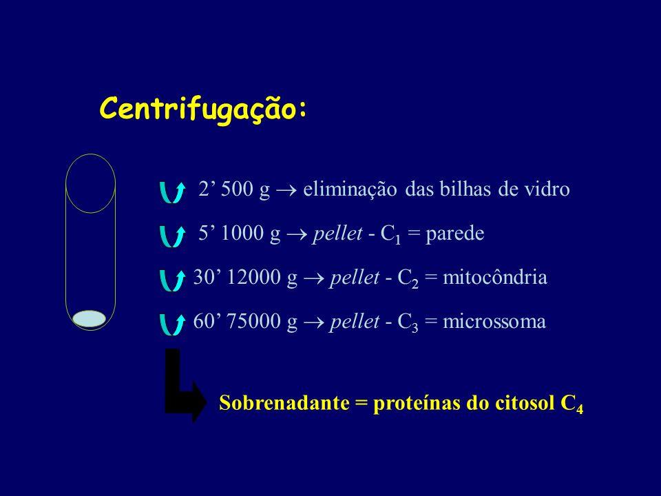 Centrifugação: 2 500 g eliminação das bilhas de vidro 5 1000 g pellet - C 1 = parede 30 12000 g pellet - C 2 = mitocôndria 60 75000 g pellet - C 3 = m