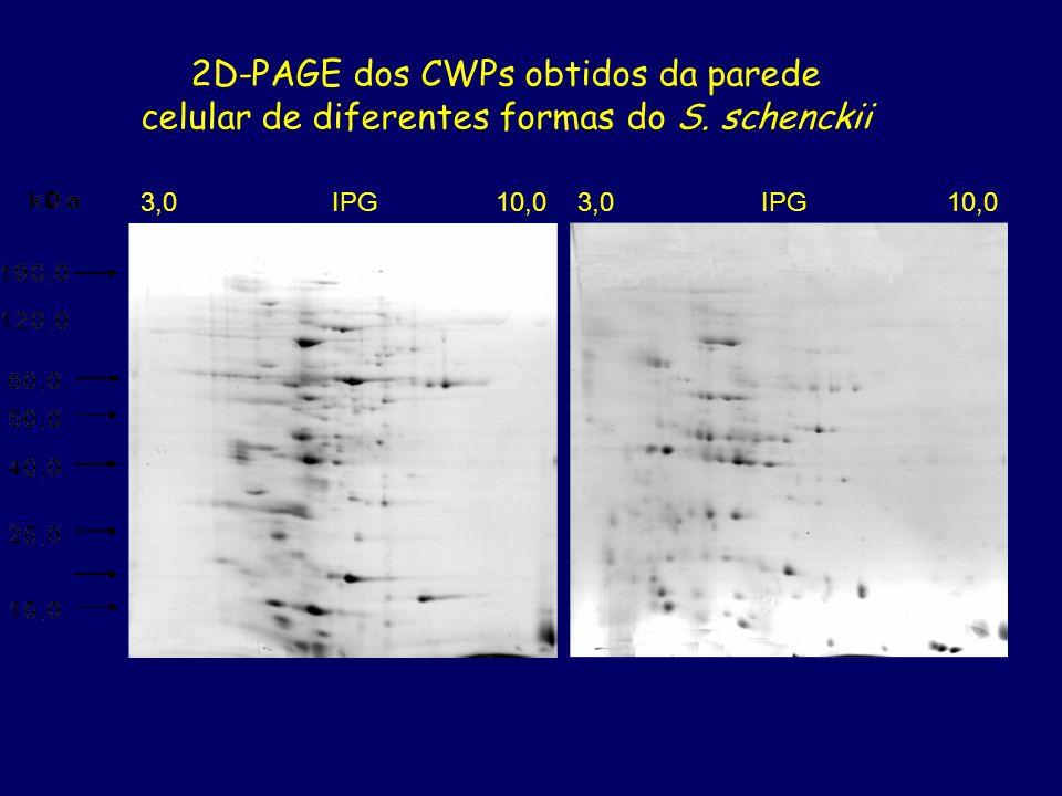 2D-PAGE dos CWPs obtidos da parede celular de diferentes formas do S. schenckii 3,0 IPG 10,0