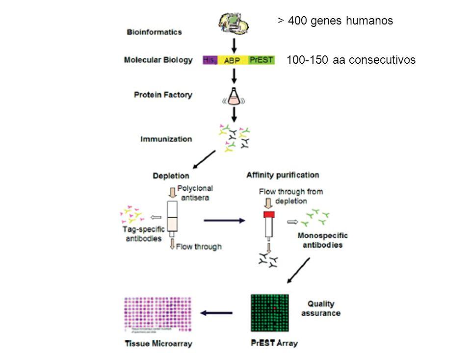 > 400 genes humanos 100-150 aa consecutivos