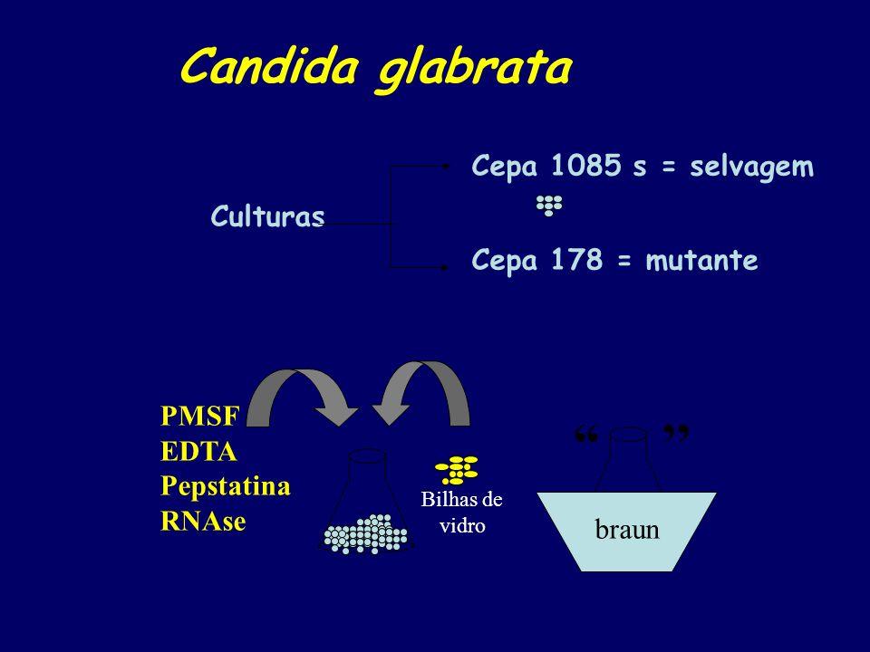 Centrifugação: 2 500 g eliminação das bilhas de vidro 5 1000 g pellet - C 1 = parede 30 12000 g pellet - C 2 = mitocôndria 60 75000 g pellet - C 3 = microssoma Sobrenadante = proteínas do citosol C 4