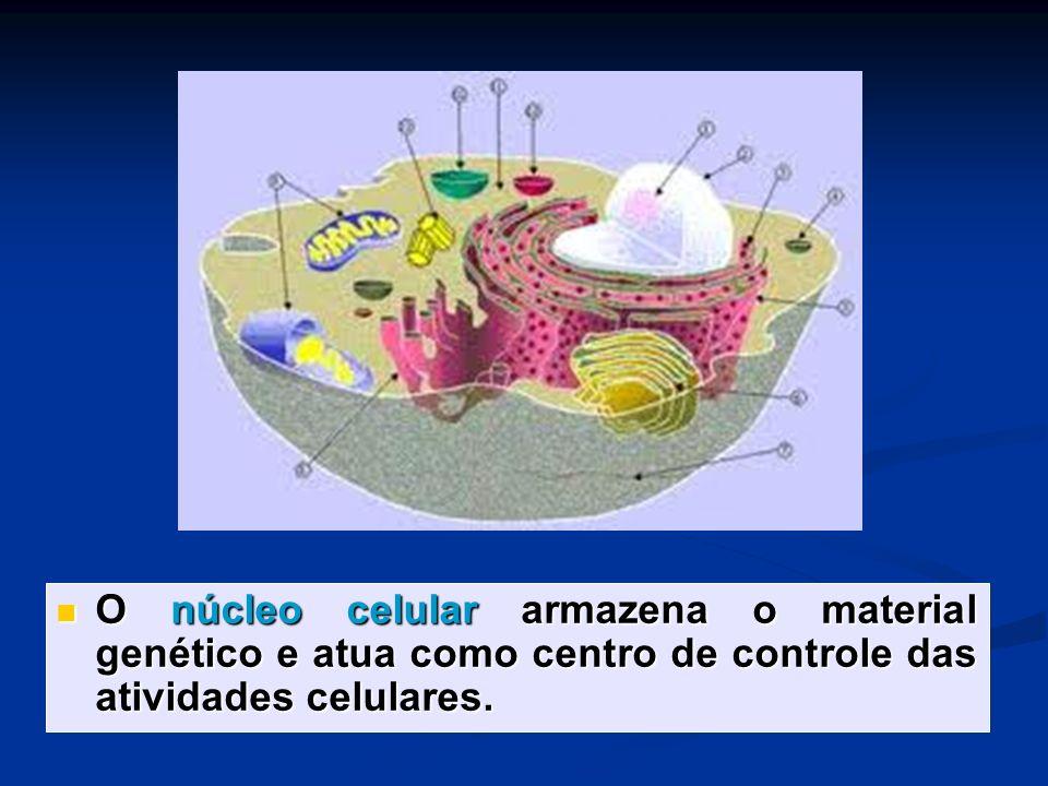 O núcleo celular armazena o material genético e atua como centro de controle das atividades celulares. O núcleo celular armazena o material genético e