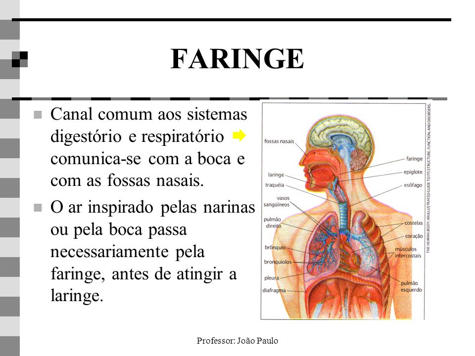 Professor: João Paulo FARINGE Canal comum aos sistemas digestório e respiratório comunica-se com a boca e com as fossas nasais. O ar inspirado pelas n