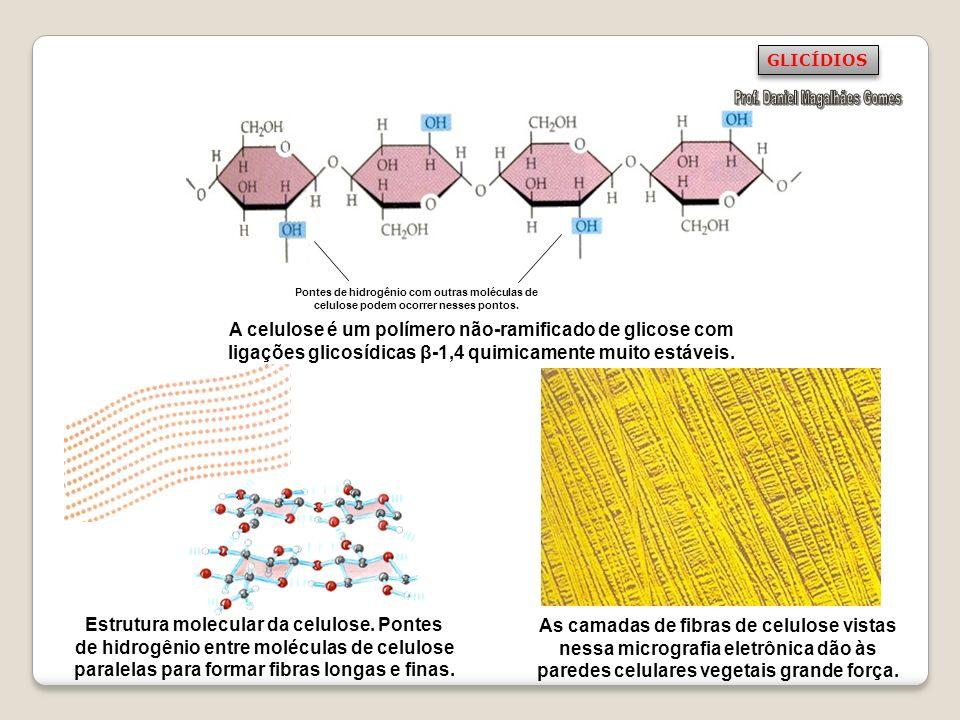 Pontes de hidrogênio com outras moléculas de celulose podem ocorrer nesses pontos. A celulose é um polímero não-ramificado de glicose com ligações gli