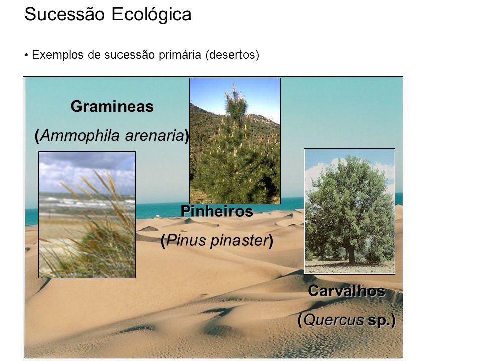 Sucessão Ecológica Exemplos de sucessão primária (desertos) Gramineas () (Ammophila arenaria) Pinheiros () (Pinus pinaster) Carvalhos (Quercus sp.)