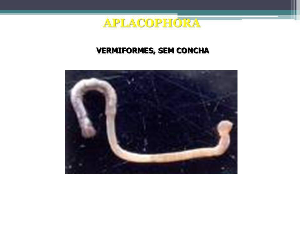 APLACOPHORA Chaetoderma canadensis VERMIFORMES, SEM CONCHA