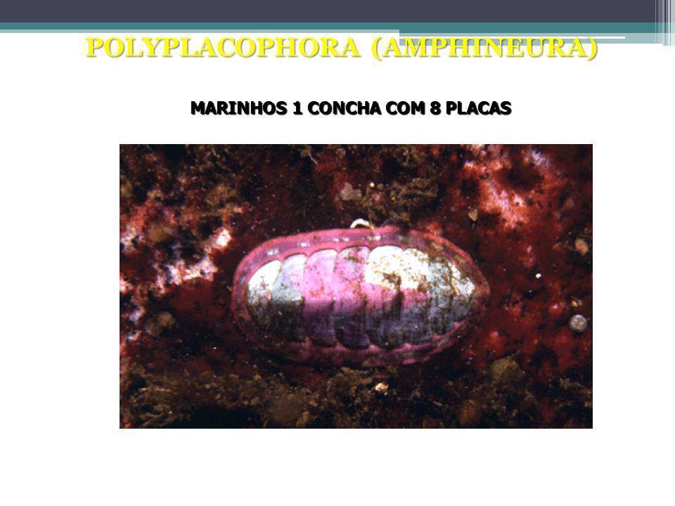 POLYPLACOPHORA (AMPHINEURA) Quíton MARINHOS 1 CONCHA COM 8 PLACAS