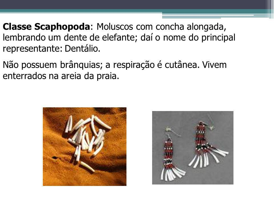 Classe Scaphopoda: Moluscos com concha alongada, lembrando um dente de elefante; daí o nome do principal representante: Dentálio. Não possuem brânquia