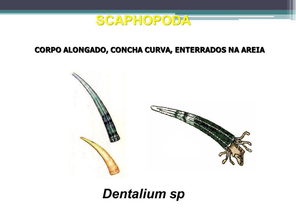 SCAPHOPODA Dentalium sp CORPO ALONGADO, CONCHA CURVA, ENTERRADOS NA AREIA