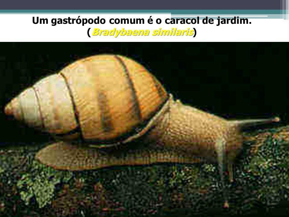 Um gastrópodo comum é o caracol de jardim. Bradybaena similaris (Bradybaena similaris)