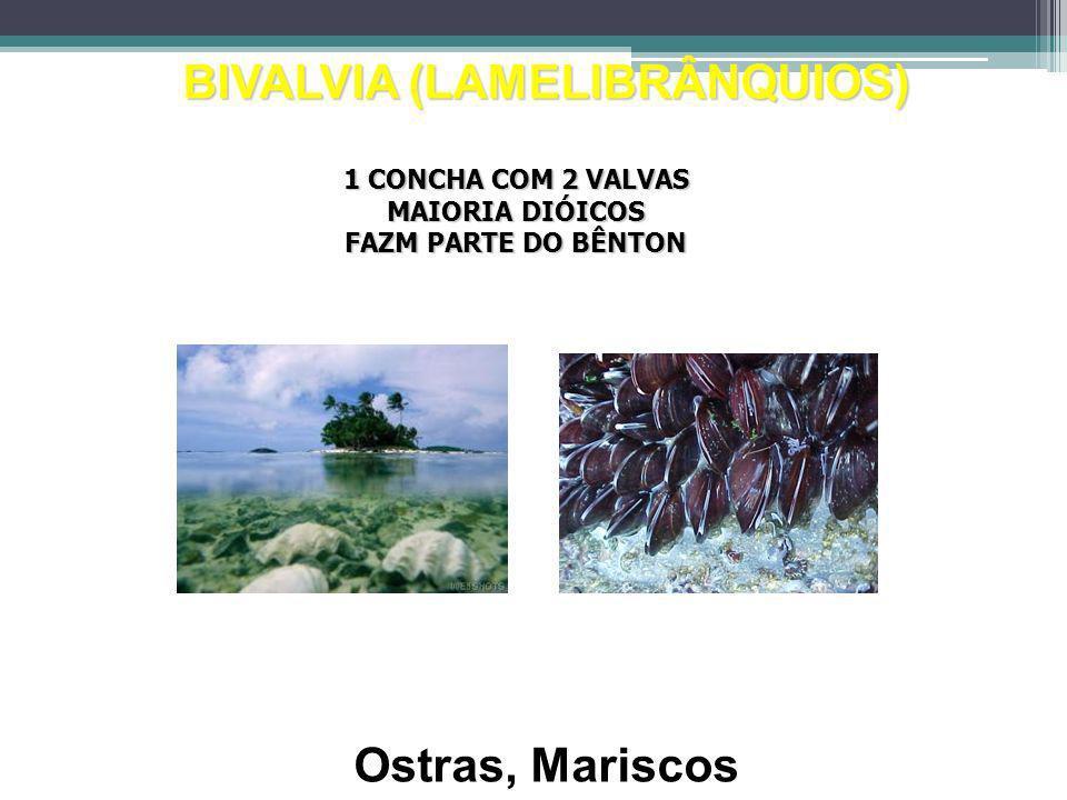 BIVALVIA (LAMELIBRÂNQUIOS) Ostras, Mariscos 1 CONCHA COM 2 VALVAS MAIORIA DIÓICOS FAZM PARTE DO BÊNTON