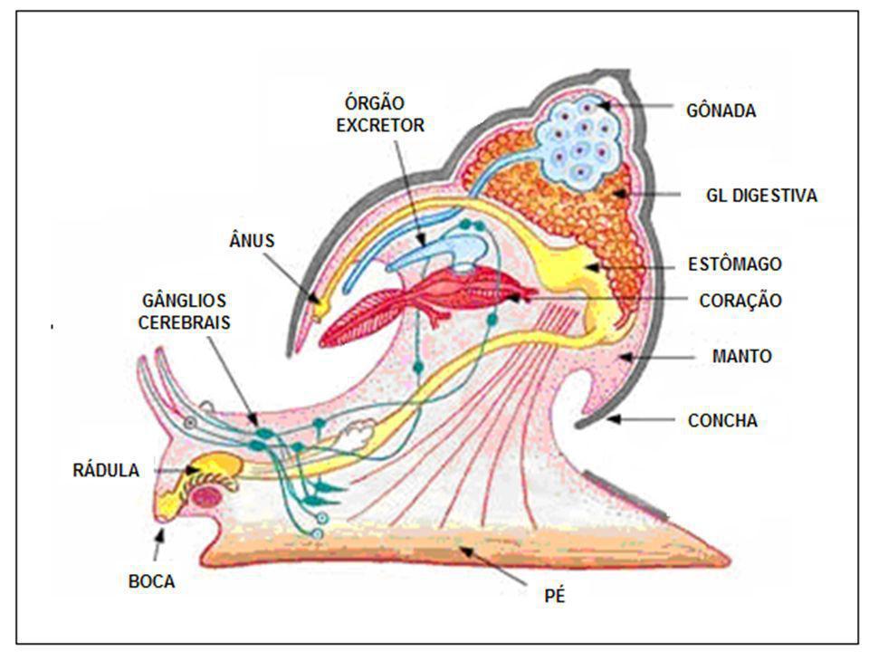 VÉLIGER – VÉLIGER – Larva ciliada Livre (bivalves)